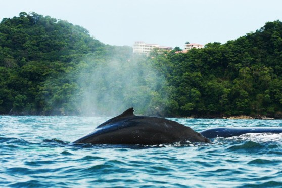 Humpback Whale - Ballena jorobada