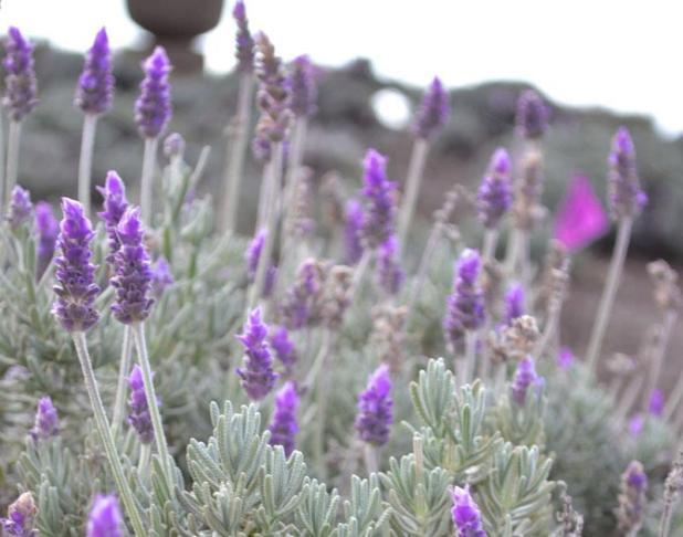 Maui Kula Lavender