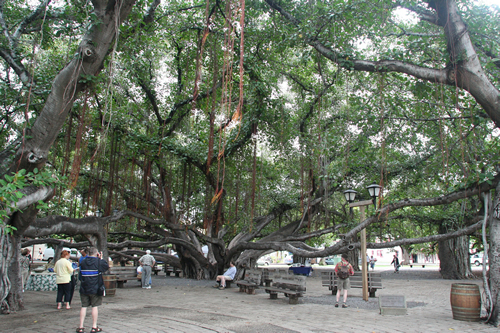 banyan-tree2